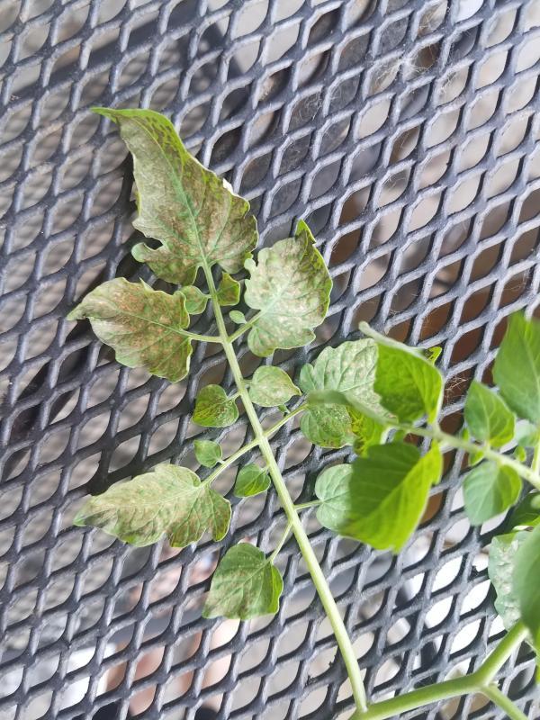 sweet pea currant # 80