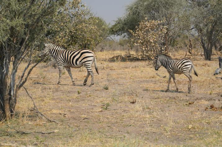 Zebras roaming in the Okavango Delta, Botswana [4088 x 2726]