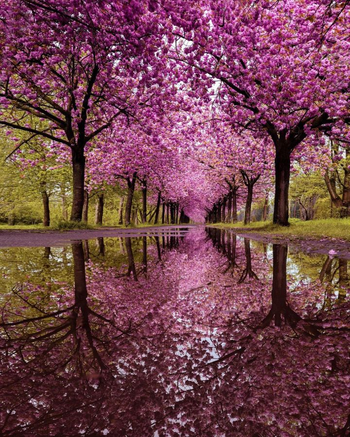 Cherry blossoms at a park in Berlin, Germany (Photo credit to Marcela Gonzalez)