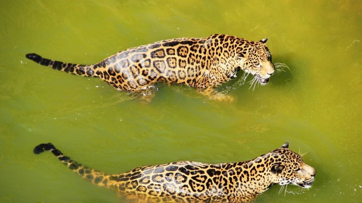 Two jaguars in the water [1920 x 1080]