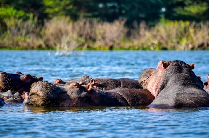 Hippos in the river, Kenya Nature Reserve (Photo credit to Bibhash) [4928 x 3264]