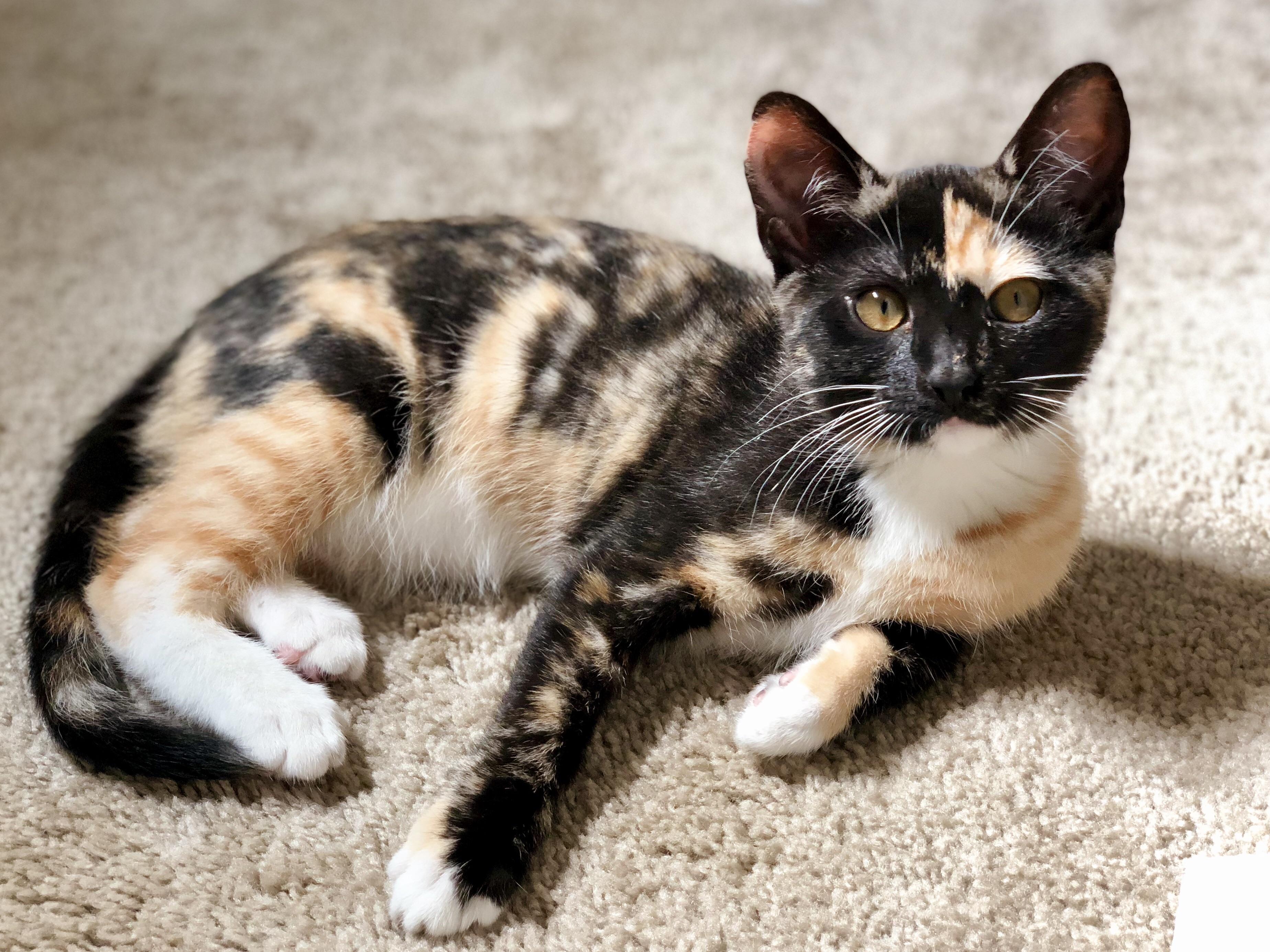 Hi Reddit Meet Hiro A Genetic Freak Of The Cat World