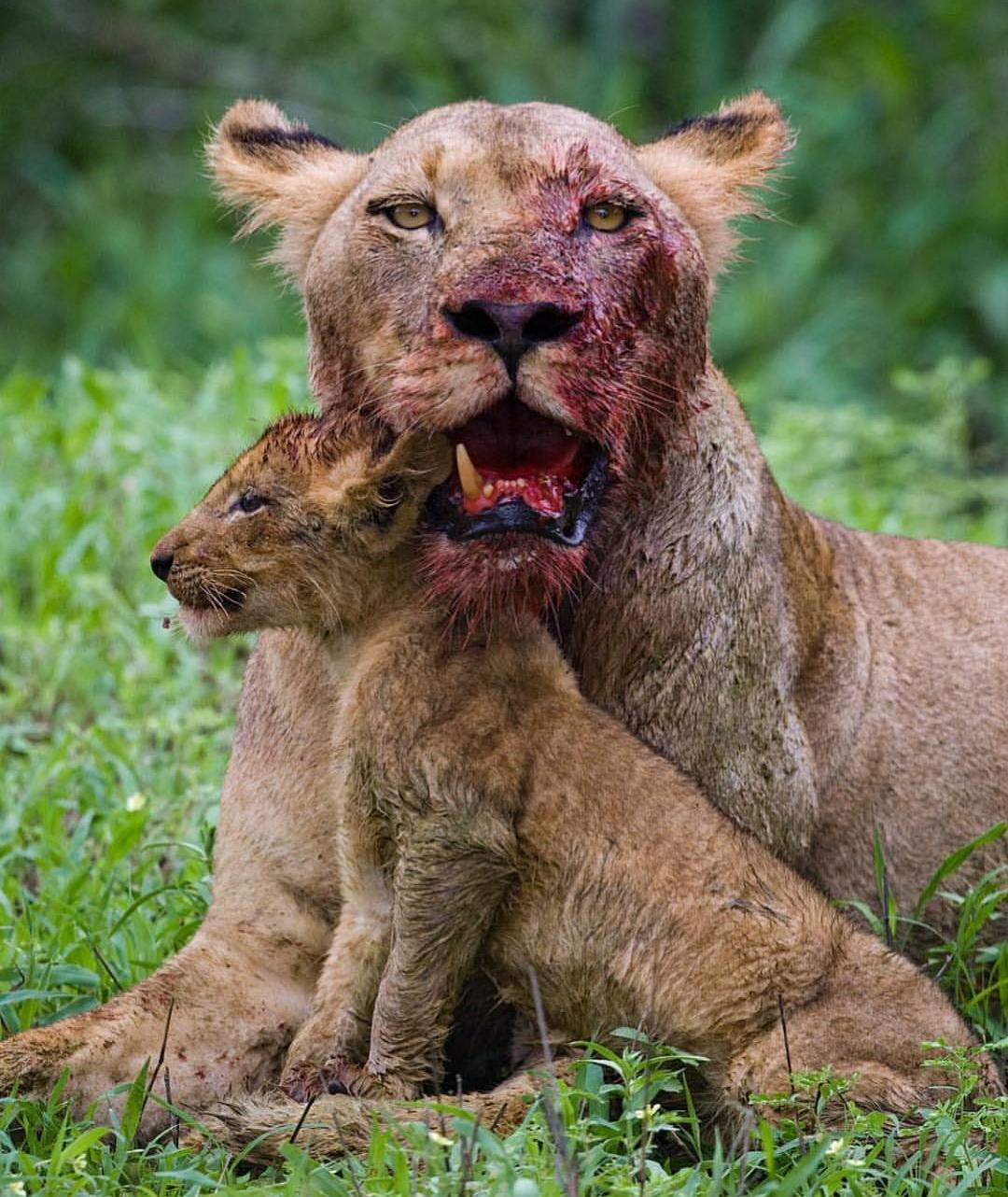 Lioness Lost A Tooth Fighting For Her Cub
