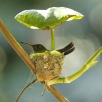 Hummingbird nest with a leaf roof
