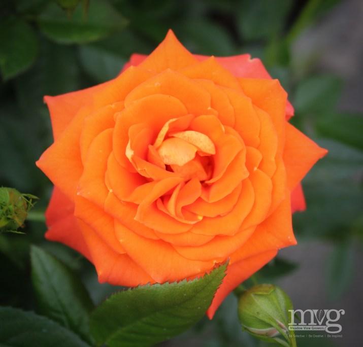Orange rose [3608 x 3456]