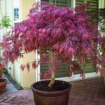 Growing Japanese Maples In Pots Plantingtree