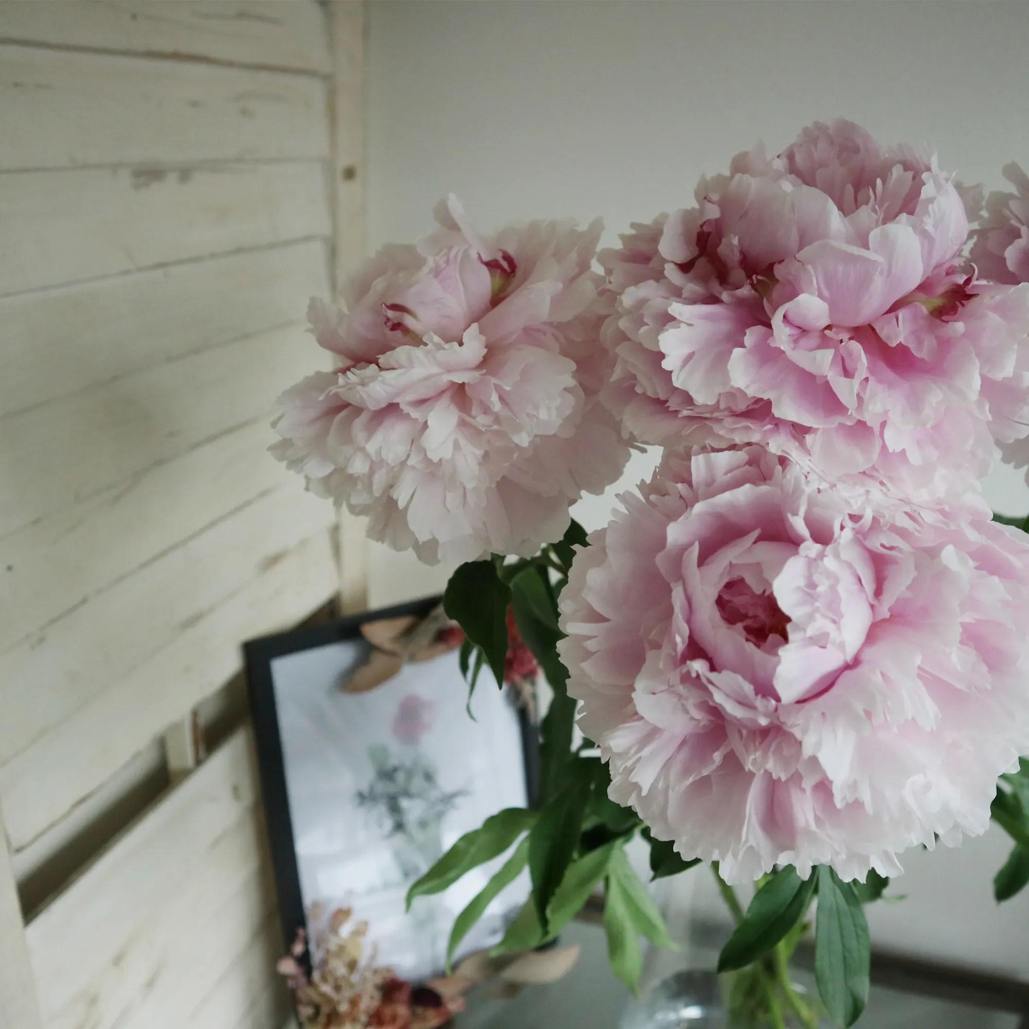 芍薬– Botanicfolk