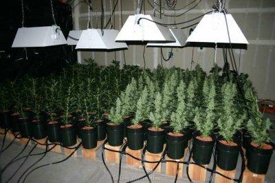 PURPLE ICE INDOOR Culture Cannabis Purple Ice Indoor