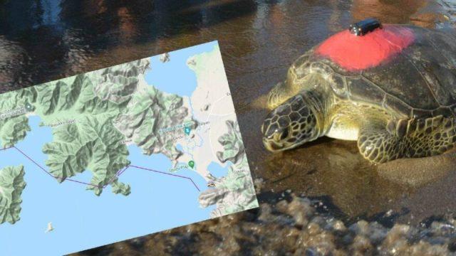 Yeşil deniz kaplumbağası Talay 3 günde 30 kilometre yol aldı