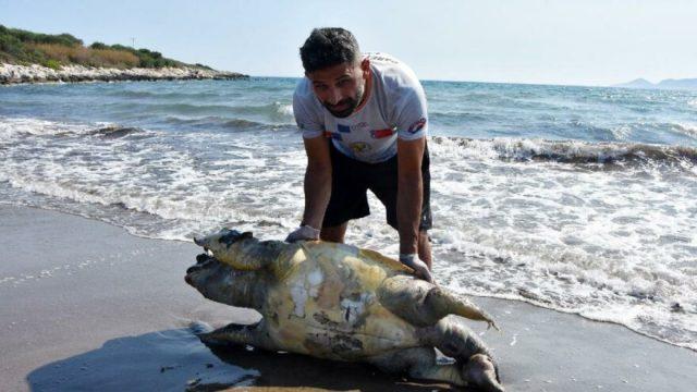 Deniz kaplumbağası ölü bulundu