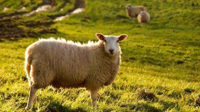 Kurban eti nasıl dağıtılmalı? Kurban derisi kime verilmeli? 14