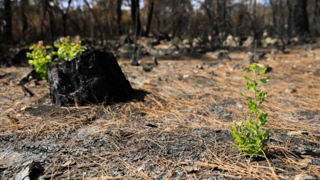 Yanan orman küllerinden doğuyor; 7 bitki türü filizlendi