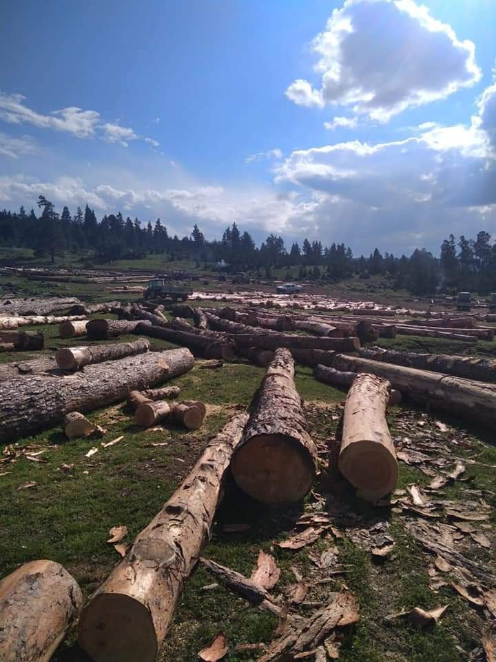 Binlerce sarıçam kesiliyor… Köylüler orman katliamına karşı eylem kararı aldı