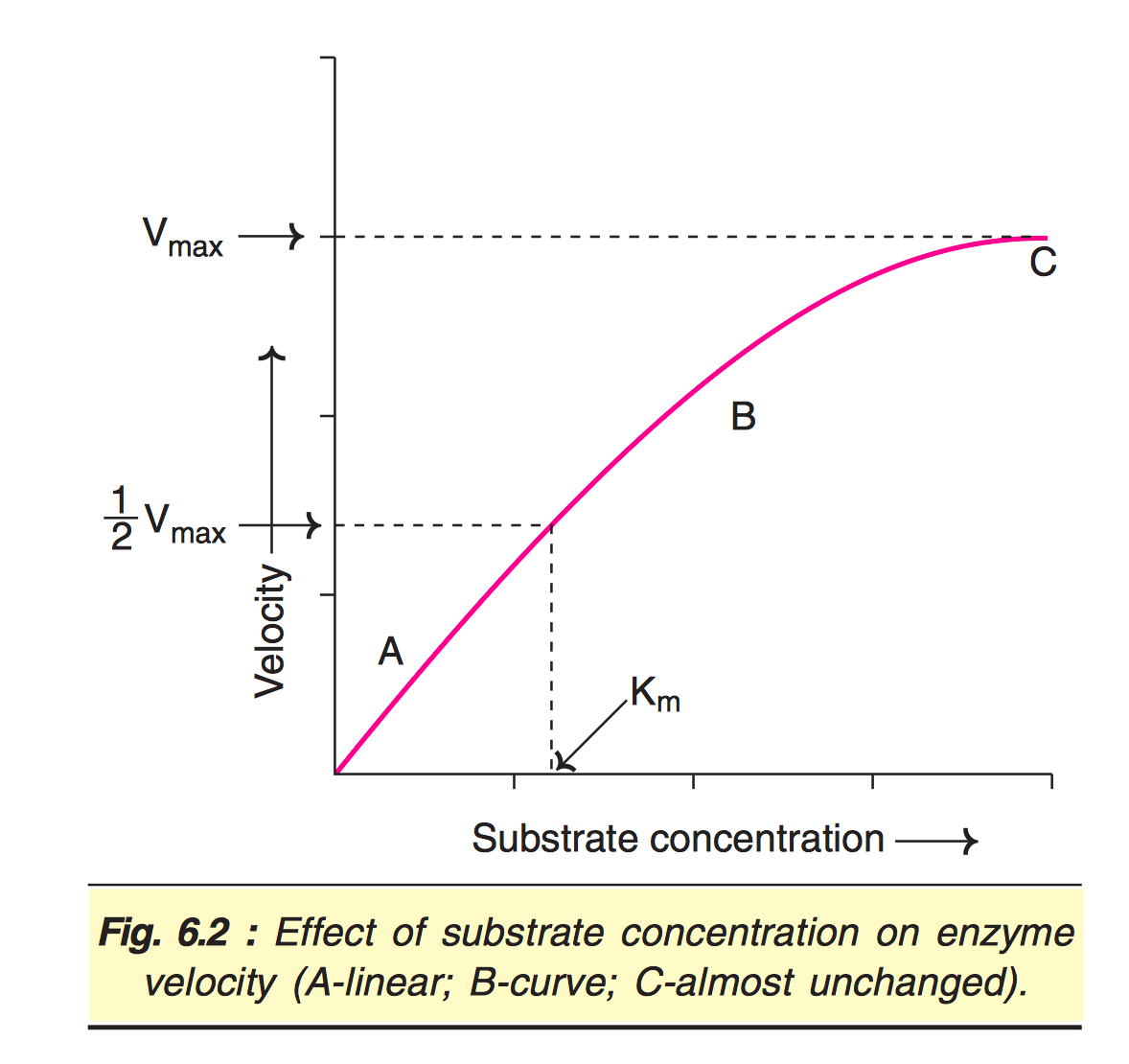 Understanding Enzyme Saturation Curve
