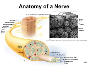 neuroscience  What gives nerves their silver colour?  Biology Stack Exchange