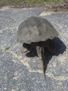 Animals What Breed Is This Very Large Black Turtle