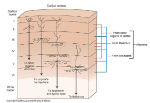 neuroscience  Is the sixlayer cortex model of the