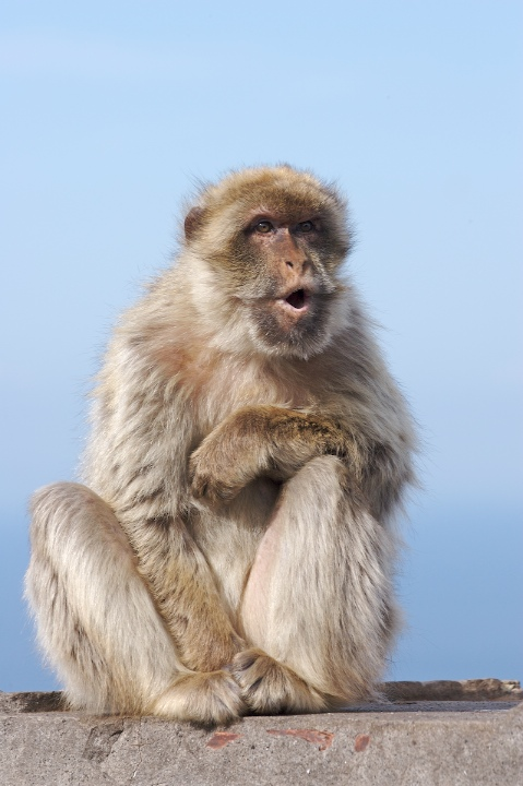 Zoology What Does This Barbary Macaque Facial Expression