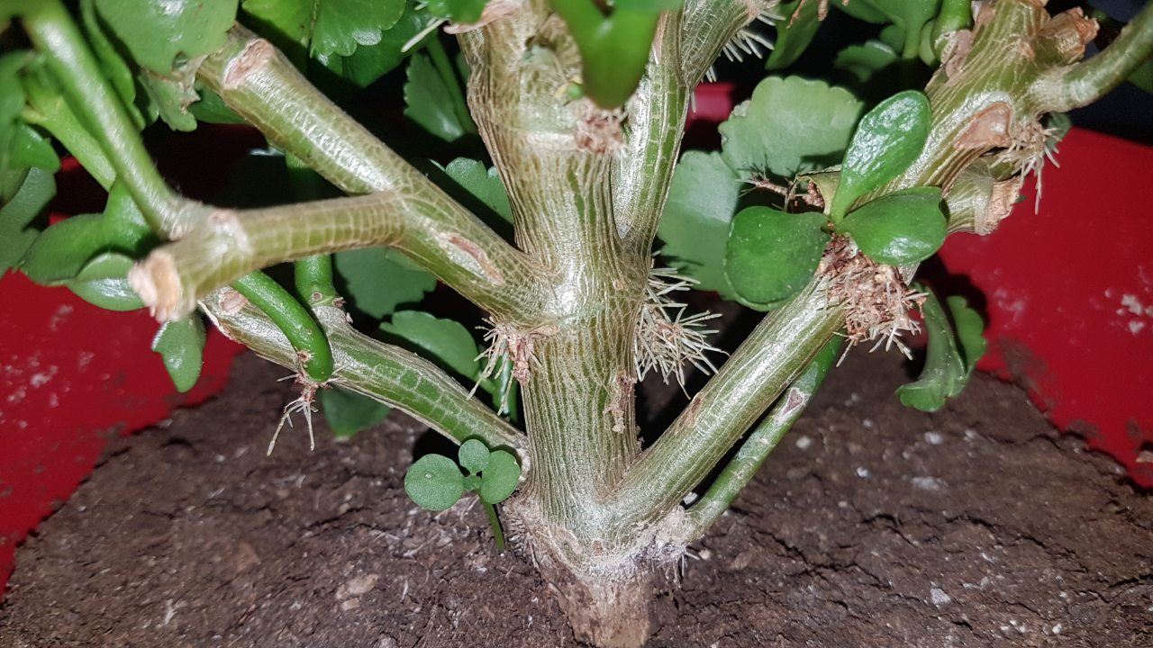 Houseplants Kalanchoe S Stems Becoming Red And Roots