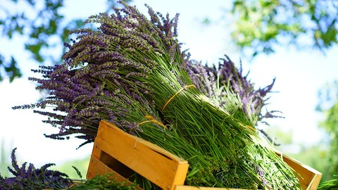 Free-Aromatherapy-Using Essential Oils- Introductory Course