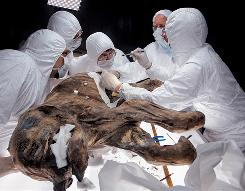 Thawing: Scientists had to take Lyuba's carcass back outside Siberia's Shemanovsky Museum to refreeze it.