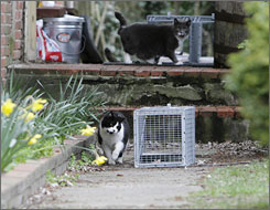 Two feral cats warily check out traps that have been baited with tuna and placed where the cats are normally fed by caregivers in Burlington County, New Jersey.