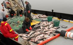 Maryland Department of Natural Resources Police officers cut striped bass from an anchored gillnet in Chesapeake Bay.