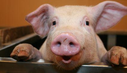 Przeszczepy świńskich organów nadzieją dla pacjentów