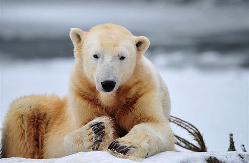 Knut (fot. AFP / Johannes Eisele z wiadomo\sci.wp.pl)
