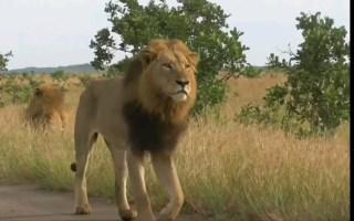 【狮子】大猫优雅的踩点~