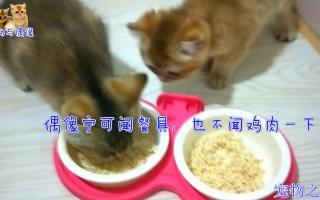 【宠物之道】面对猫生第一次鸡肉餐,两只小猫反应大不一样,主人:肉遇到假猫了?