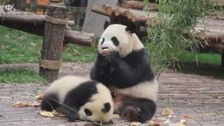 #大熊猫雅莉# #大熊猫雅韵# #大熊猫雅竹# 雅莉妈妈的减肥计划