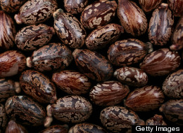 Castor beans are photographed December 16, 2010 in New York City. The beans, also known by its scientific name of Ricinus communis, are the main ingredient in making the poison ricin. (Photo illustration by Yvonne Hemsey/Getty Images)