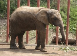 In this photo provided by the Pittsburgh Zoo and Aquarium, Umasai, a five-year-old elephant from the Dresden Zoo  gets used to her new surroundings at the Pittsburgh Zoo and Aquarium on  Friday, Aug. 19, 2011 in Pittsburgh.  (AP Photo/Pittsburgh Zoo)