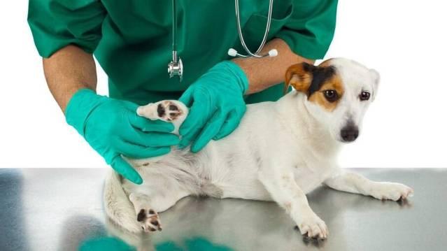 Em casos de fraturas ou lesões, leve com todo o cuidado ao veterinário mais próximo