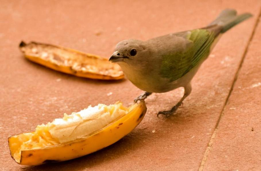 Bananas são uma excelente fonte de alimento para as aves. Foto: flick.com
