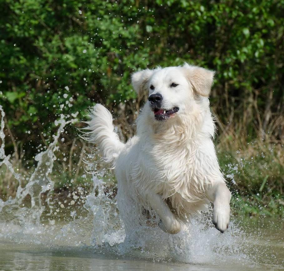 Golden Retrievers amam brincar na água. Foto: Pixabay