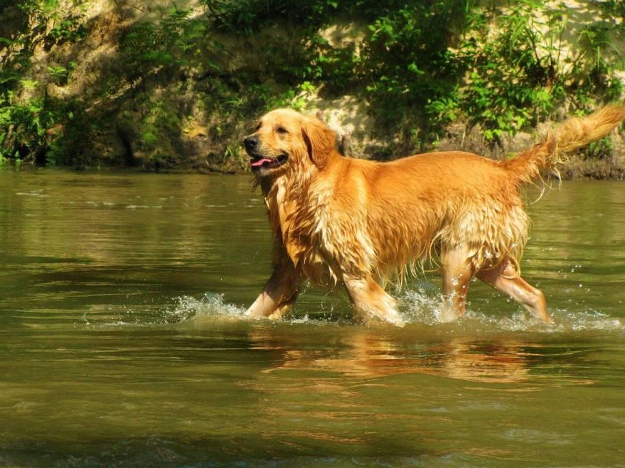 Retrievers amam brincar na água. Foto: Pixabay