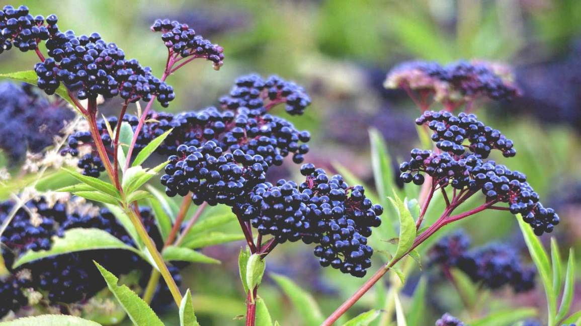 Elderberry Benefits And Dangers