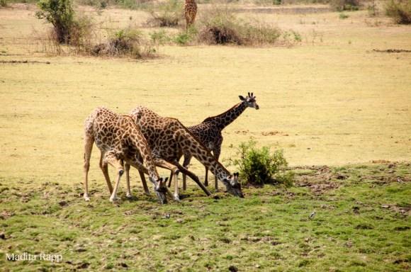 giraffesmadita2.125927.jpg
