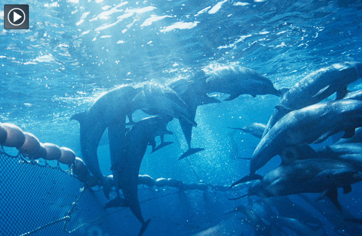 Dolphins in tuna net - By All Rights