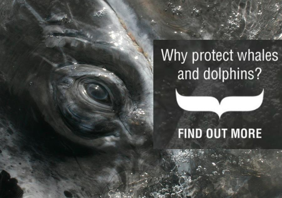 Why protect whales and dolphins?
