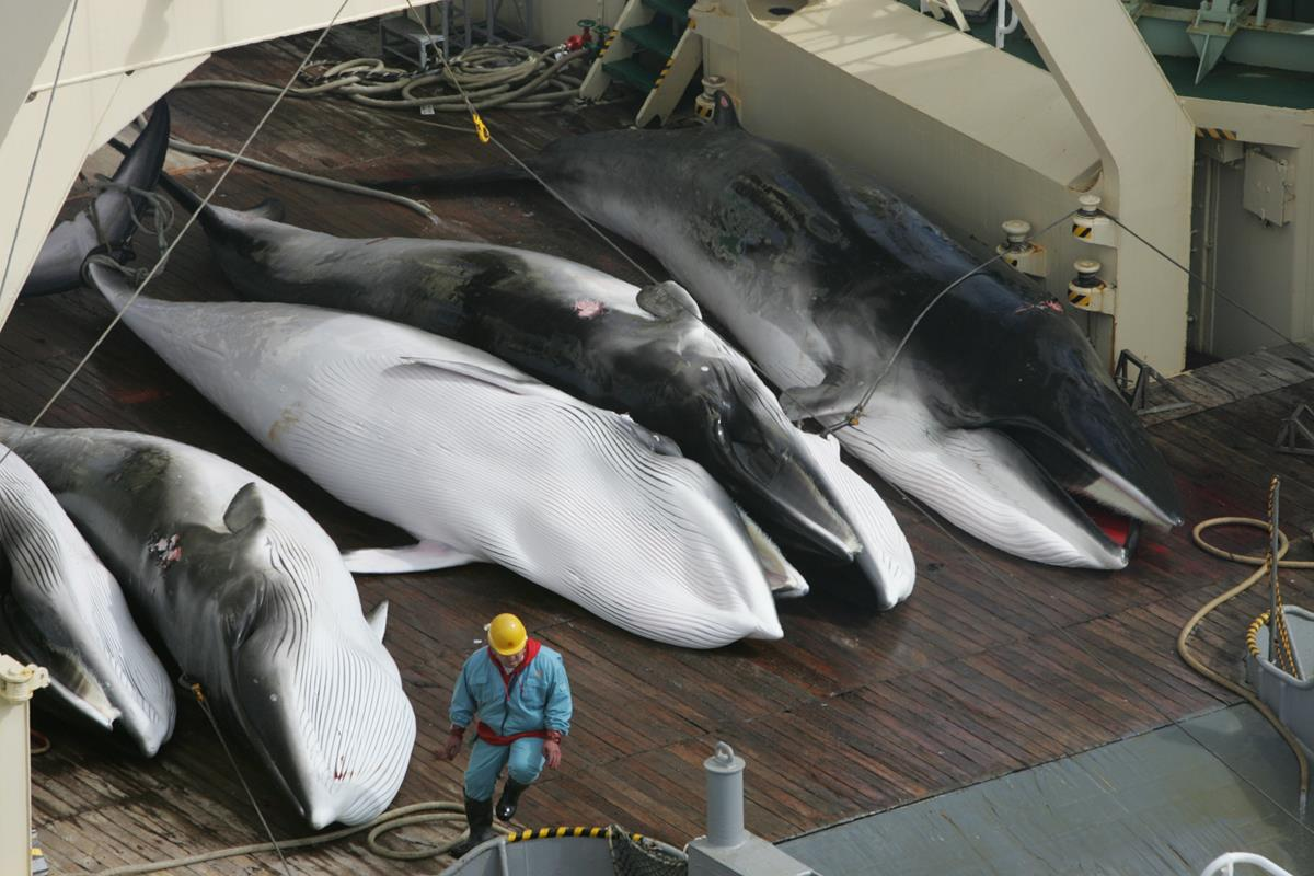 Slaughtered minke whales