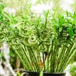 Interesting Facts About Lucky Bamboo Plant Ferns N Petals
