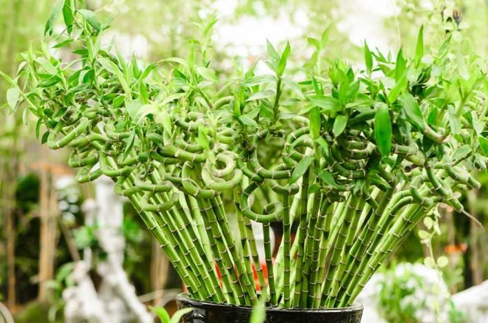 Luck Enhancer Plant