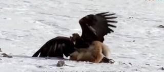 猎鹰帮猎人捕捉狐狸