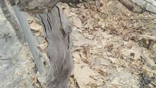 冬剪实习之给葡萄树剥树皮