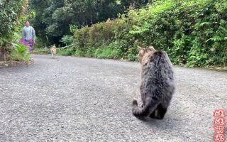 主人带柴犬出去遛弯,猫咪坐在路口等候,猫和狗也有纯友谊