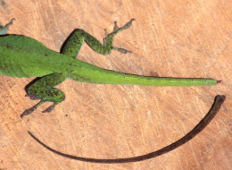 A green anole lizard with no tail.