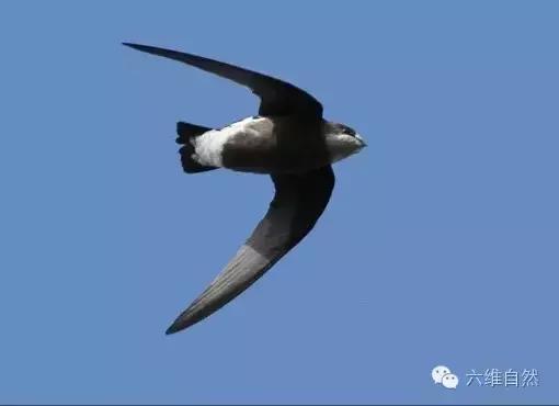 鳥類中飛行速度最快的白喉針尾雨燕 - 每日頭條